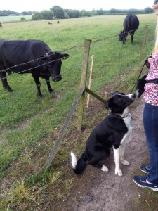 121 socialisation with a field of cows